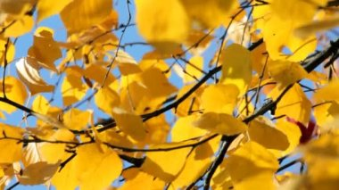 Autumn bright yellow birch leaves — Stock Video