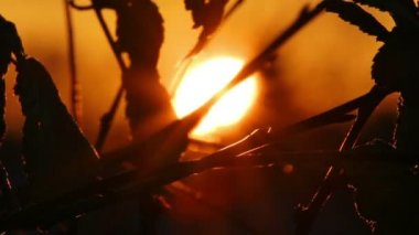 Setting sun behind silhouettes of leaves — Stock Video