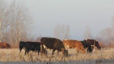 Krávy na podzim suché pastviny - farmě scény — Stock video