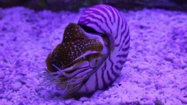 Nautilus shell underwater — Stock Video