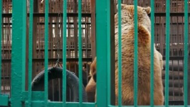 Two bears playing in zoo — Stock Video