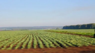 Farm field with cabbage — Stock Video