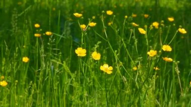 Buttercup flowers in summer meadow — Stock Video