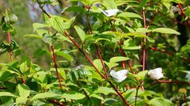 Bílí motýli na zelených listech - aporia crataegi — Stock video