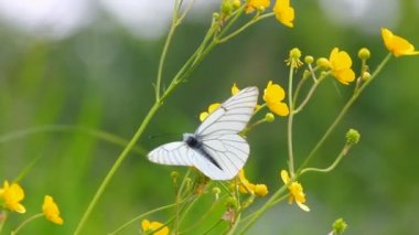 Mariposa blanca de flores amarillas - aporia crataegi — Vídeo de stock