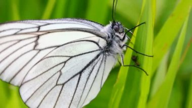 White butterfly on green leaves - aporia crataegi — Stock Video