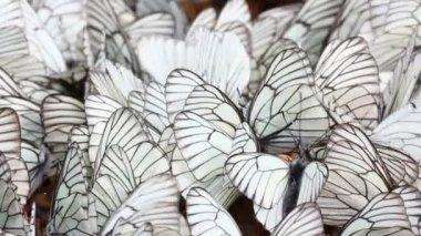 Kum - aporia crataegi birçok beyaz kelebekler — Stok video