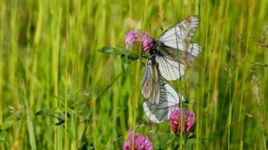 Yonca çiçek - aporia crataegi üzerinde beyaz kelebek — Stok video