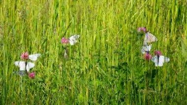 Mariposas blancas sobre flores de trébol - aporia crataegi — Vídeo de stock