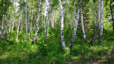 Camping tent in summer birch forest — Stock Video