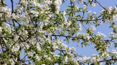 Blossom apple tree branches — Stock Video