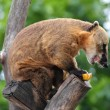 Nasua coati eating banana — Stock Photo