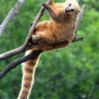 Nasua coati — Stock Photo