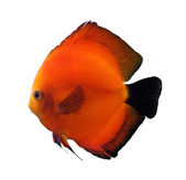 Red discus fish — Stock Photo