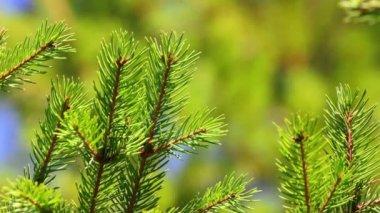 尖端的松树树特写 — 图库视频影像