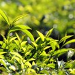 Tea plants - Stock Photo