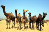 Group of camels during festival in Pushkar — Stock Photo