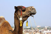 Camel during festival in Pushkar — Foto Stock