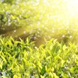 Tea plants in sunbeams — Foto Stock