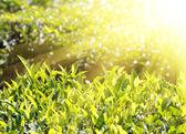 Herbata rośliny w promienie słońca — Zdjęcie stockowe