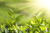 Tea plants in sunbeams — Stock Photo
