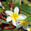 Plumeria flowers closeup — Stock Photo