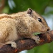 Chipmunk sitting on tree branch — Stock Photo