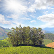 Mountain tea plantation in India — Stock Photo