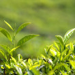 Tea plants — Foto Stock