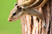 Chipmunk sitting on tree — Stock Photo