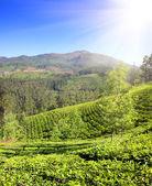Mountain tea plantation in India — Stock Photo