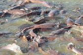 Many fish splashing in lake — Stock Photo