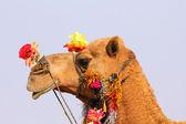 Camel during festival in Pushkar — Stock Photo