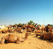Camels during festival in Pushkar — Stock Photo
