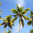 Palms under blue sky - Stock Photo