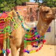 Decorated camel during festival in Pushkar India - Stock Photo