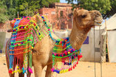 Decorated camel during festival in Pushkar India — Stock Photo