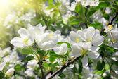 桃花苹果树枝 — 图库照片