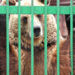 Captivity - brown bear in cage — Stock Photo #26774801