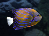 Angelfish underwater - pomacanthus annularis — Stock Photo