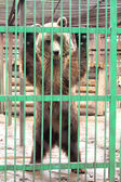Captivity - brown bear in cage — Стоковое фото