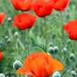 Red poppy flowers in field — Stok fotoğraf