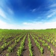 Field with corn — Stock Photo