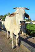Indian white cow — Stock Photo