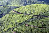 Plantación de té de montaña en la india — Foto de Stock