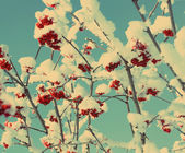 Red ash-berry under snow - vintage retro style — Stock Photo