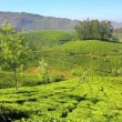 Mountain tea plantation in Munnar Kerala India — Stock Video