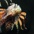 Stock Video: Lionfish zebrafish underwater close-up