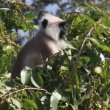 Vídeo de stock: Presbytis monkey eating fruits on tree