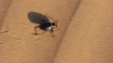 Scarab beetle running in desert — Stock Video